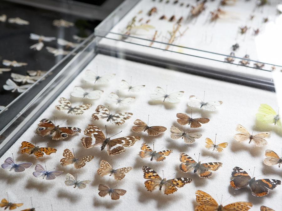 sammler 1 Insekten